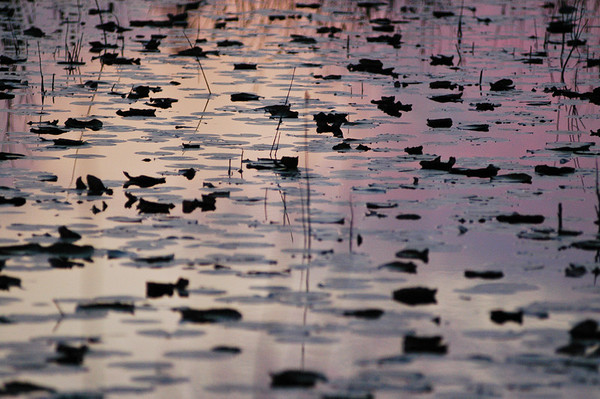 Lilly Pads at Dusk
