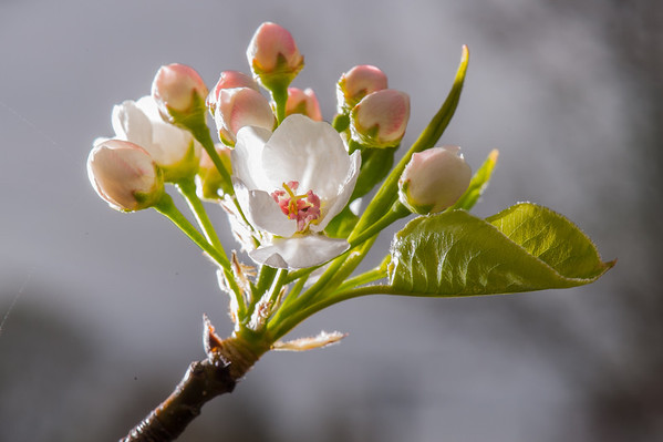 Washington Pear Blossum
