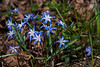 Chionodoxa Luciliae – Glory Of The Snow