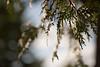 Cedar Fronds