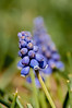 Grape Hyacinth hiding in the grass