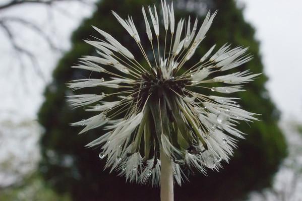 Dandelion Bad Hair Day