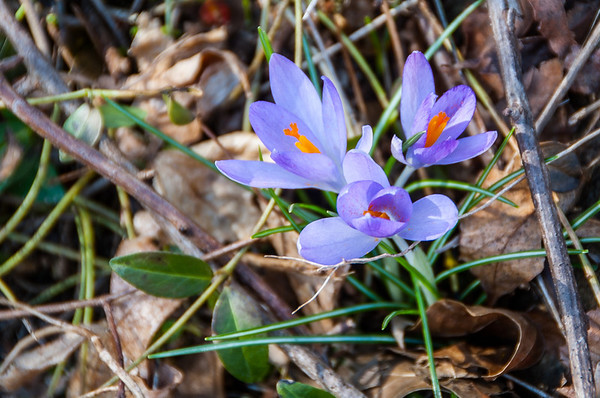 Snow Crocus in bloom