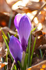 Two Spring Crocus Blooming