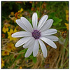 3rd year Pic 208 - Apr 18 2011<br /> Shasta Daisy<br /> Koteshwar, Ahmedabad April 2011<br /> <br /> Leica D-Lux 5