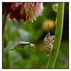 Second crop with the bug & centepede <br /> Koteshwar,  Ahmedabad April 2011