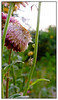 Helichrysum<br /> Full frame shot<br /> Koteshwar,  Ahmedabad April 2011