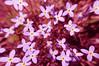 Flowers, Hebbitsburg,Cumberland County,  Tennessee.