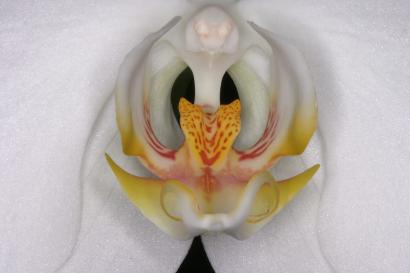 Orchid Extreme Closeup
