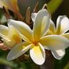 Backyard Plumeria