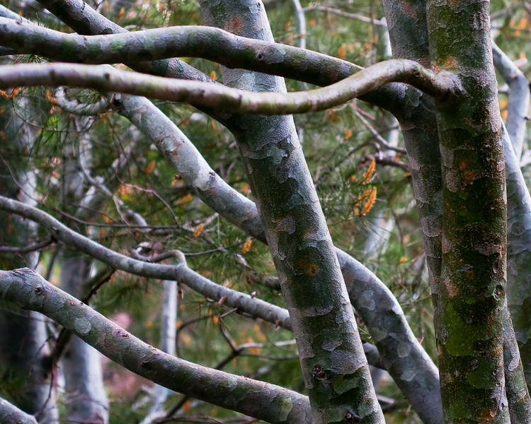 Lacebark Pine - Denver Botanic Gardens