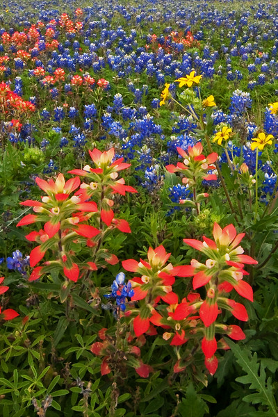 Texas Wildflowers - near La Grange, TX