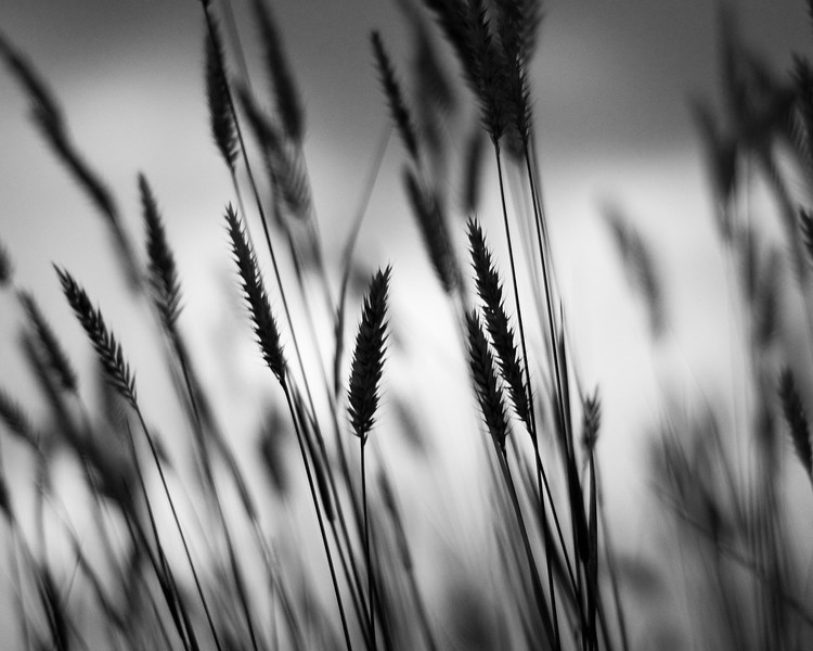 Prairie grasses - Parker, CO