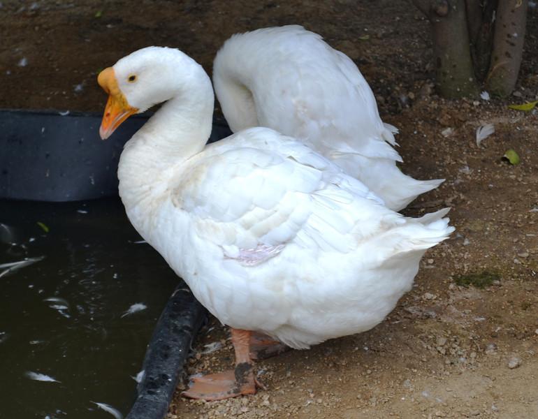 Goose and Partner at Orange County Fair in Costa Mesa CA