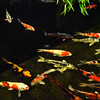 Koi fish At Fashion Island at Night in Fashion Island in Newport Beach California
