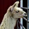 Alpaca at the Orange County Fair in Costa Mesa CA Closeup