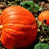 Large Pumpkin at the Orange County Fair in Costa Mesa CA