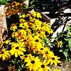 Sunflowers in Newport Beach California