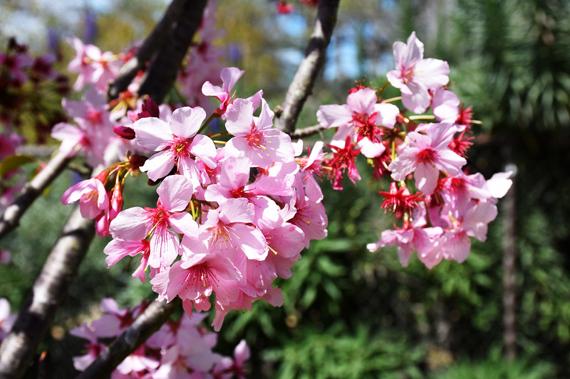 Cherry Blossoms at Huntington Beach Central Park in CA2