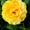 Yellow Rose of Texas in Costa Mesa CA