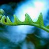 """WPP1255  """"Unfolding Fern"""""""