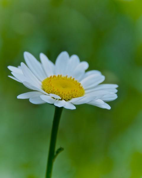 WPP6056  Daisy