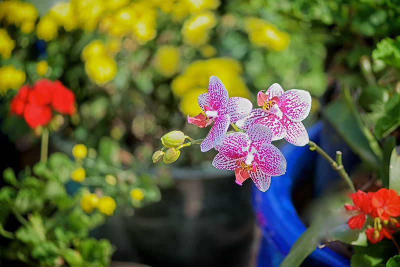 WPP2246 Orchids