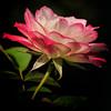 WPP2253 Rose