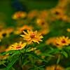 "WPP1516  ""Field of Yellow"""
