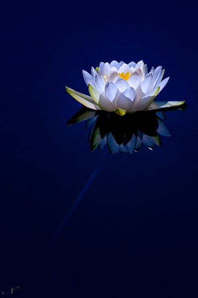 """WPP1241  """"Light in the Lily"""""""