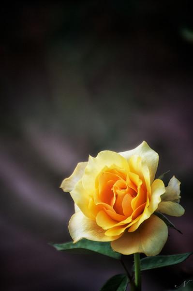 """WPP1247  """"Yellow Beauty"""""""