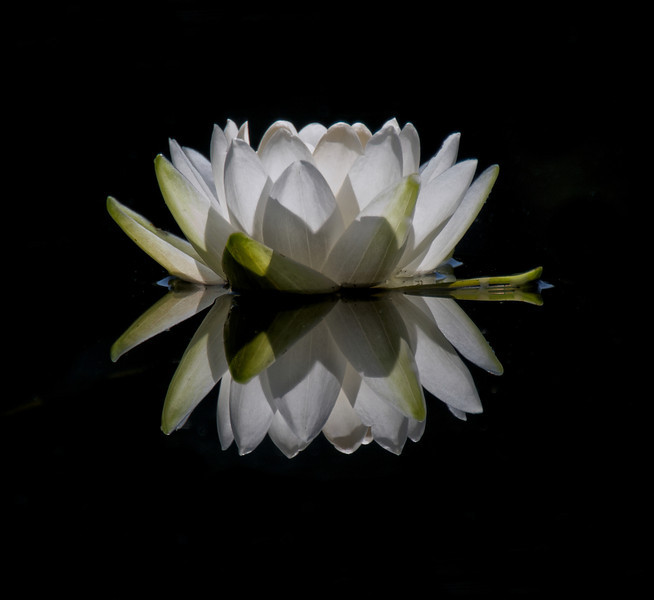 """WPP2086  """"Water Lily"""""""