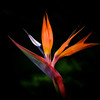 "WPP1119  ""Bird of Paradise"""