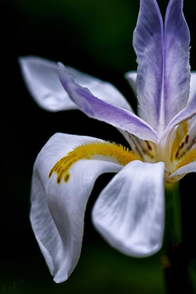 "WPP1566  ""Iris Beauty"""