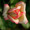 WPP2252 Rosebud