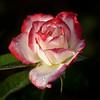 WPP2255   Rosy