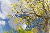WPP2424 Tabebuia in Central Park
