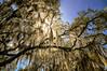 "WPP1533  ""Sunlight Through Mossy Tree"""