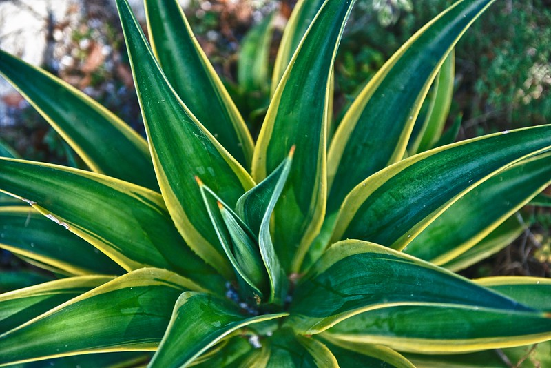 """WPP1515  """"Agave Delight"""""""