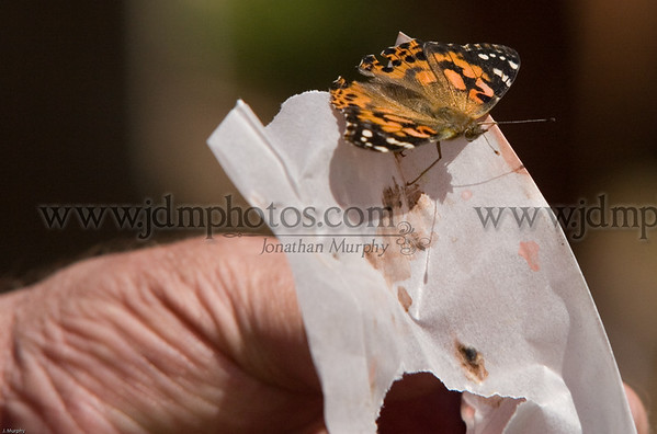 Release of more butterfly's