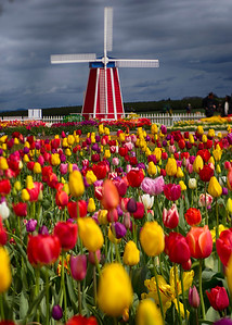 Tulip field with windmill