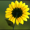 Sunflower Yolo Basin Wildlife Center