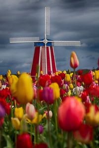 Windmill in tulip farm