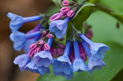 Virginia Blue Bells from my father's garden from long ago