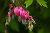 Dicentra spectabilis  or Bleeding Hearts  the most tender spring perennial.  A drop in temps to freezing will turn these to mush... so we will love them intensely while we have them.