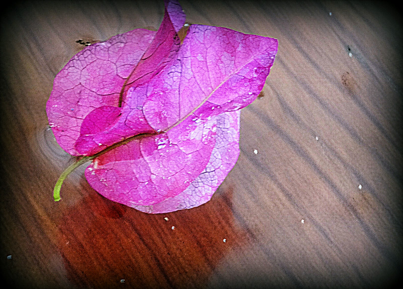 Floating Bougainvillea blossom