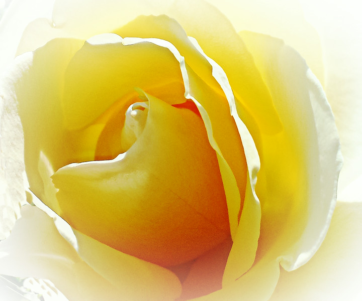 White Rose Inner beauty by Roberta