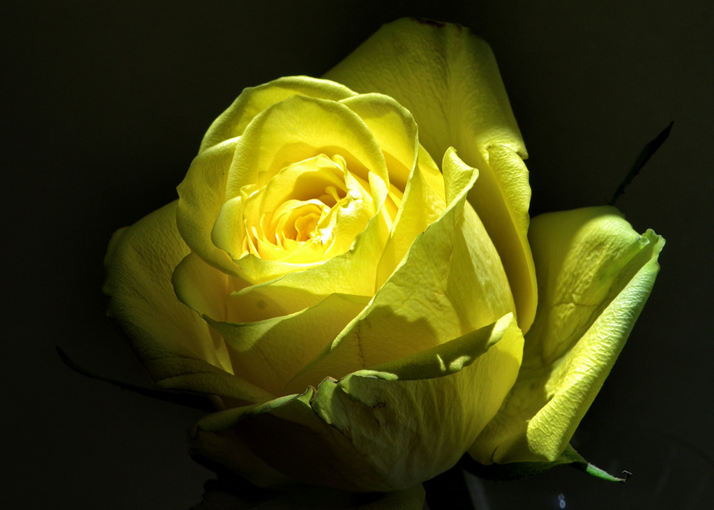 Yellow Rose under small light