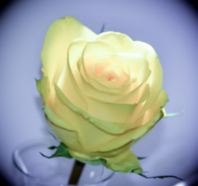 Yellow Rose by Karen