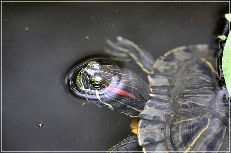Turtle in Pond..Cynthia Davis